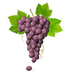 Purple Grapes vector image