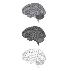 Human brain gray vector