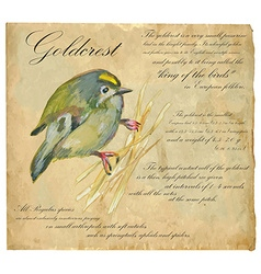 Goldcrest - an hand painted vector