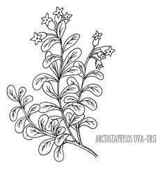 doodle plants bearberry medicinal plant vector image