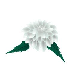 White dahlia flower on a white background vector