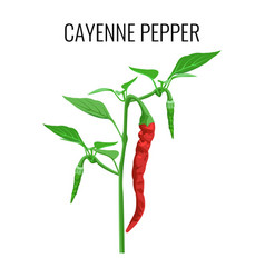 cayenne pepper pod on green stem with leaves vector image