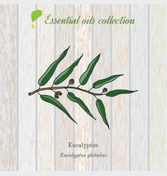 Eucalyptus essential oil label aromatic plant vector