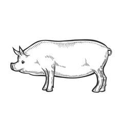 pig farm animal livestock vector image