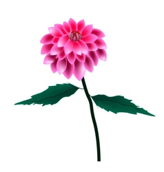 Pink Dahlia Flower on A White Background vector image vector image