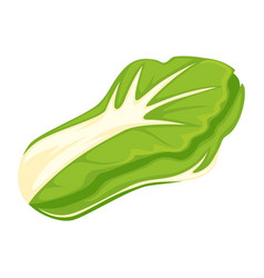 Head of fresh cabbage vector
