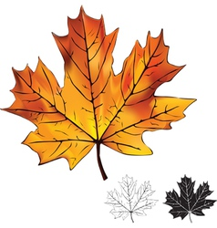 Autumn maple leaf isolated vector