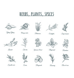 herbs plants and spices vector image