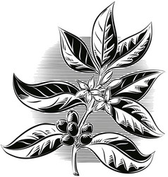 Branch of the coffee plant with some fruits and vector