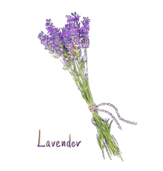 Hangs Lavender bunch with a jute rope Sketch with vector image