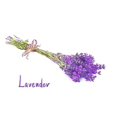 Lavender bunch with a jute rope sketch with waterc vector