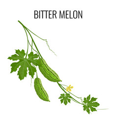 bitter melon on white background isolated vector image vector image