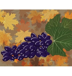 Grapes clustters isolated vector image