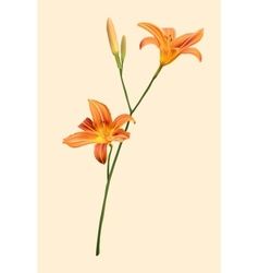 Orange lily vector