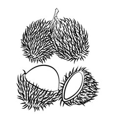 line drawing of rambutan -simple line vector image