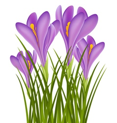 Realistic purple crocus vector