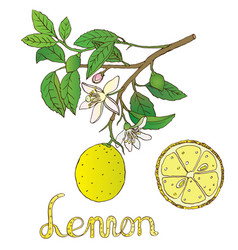 lemon 1 vector image