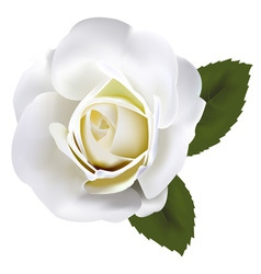 Beautiful white rose with gre vector