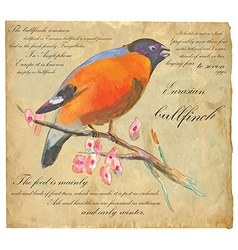Eurasian bullfinch - an hand painted vector