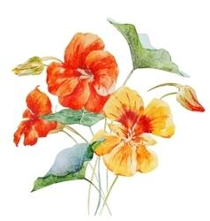 Watercolor nasturtium flower vector image