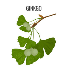 Ginkgo biloba pod with green leaves isolated on vector