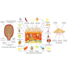 Skin anatomy diagram vector
