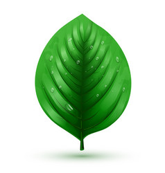 rrealistic green leaf isolated on a white vector image vector image