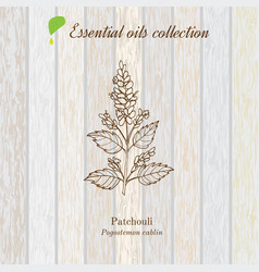 Patchouli essential oil label aromatic plant vector