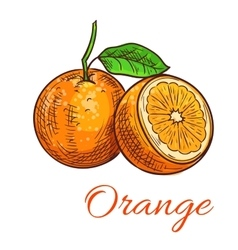 Orange citrus fruit isolated sketch vector image vector image