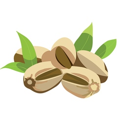 pistachio nuts with leaves vector image