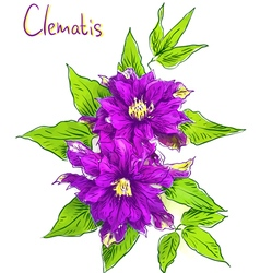 Clematis sketch with watercolor imitation texture vector
