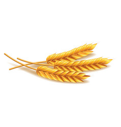 Wheat isolated on white vector image vector image