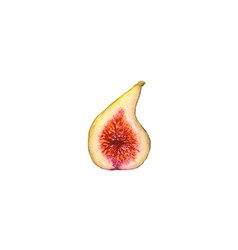 Watercolor half of figs isolated vector
