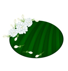 Fresh jasmine flowers on green banana leaf vector