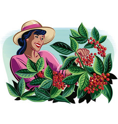 Girl which collects coffee on a plantation vector