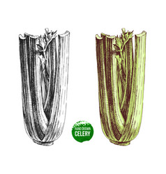 Hand drawn celery vector