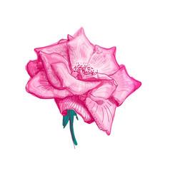 rose flower sketch vector image