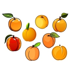 Isolated orange sweet apricots fruits vector image