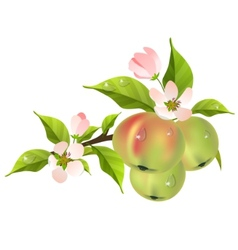 apple tree branch in bloom vector image vector image