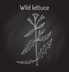 wild or prickly lettuce lactuca serriola vector image vector image