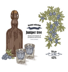 juniper tree and old bottle gin vector image vector image