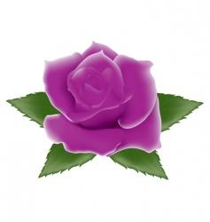 purple rose vector image vector image