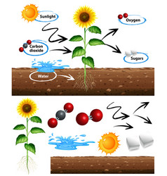 Diagram showing how plant grows vector
