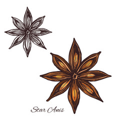 star anise spice sketch of badian fruit and seed vector image