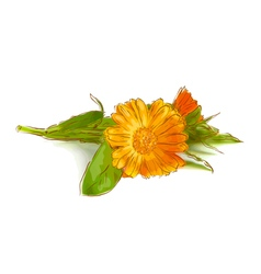 Calendula flowers vector
