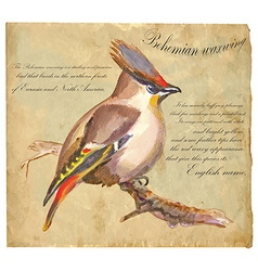 Bohemian waxwing - an hand painted vector