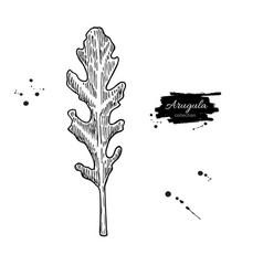 arugula leaf hand drawn vector image