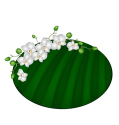 Beautiful moon orchids on green banana leaf vector