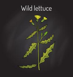 Wild or prickly lettuce lactuca serriola vector