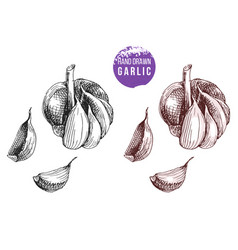 hand drawn garlic vector image vector image